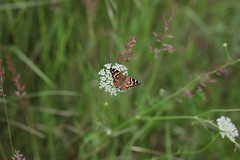 023A8771 (mkamelg) Tags: canon eos 5ds rokinon 85mm f14 if umc ae85mc butterfly outdoor