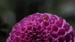 Hide and Seek (jurgenkubel) Tags: flower blomma blte blume nyckelpiga ladybug ladybird ladybeetle ladycow coccinellidae marienkfer