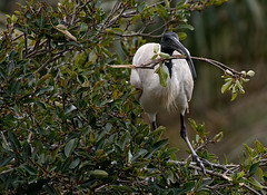 CCE_1951-Edit.jpg (carlopinarello) Tags: zoom d800e nl200500 mtcootthagardens bird nikon200500mmf56 ibis queensland qld