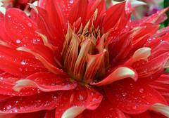 Gärten der Welt (Gardens of the World) (Björn O) Tags: gärten garten garden gärtenderwelt botanik pflanze pflanzen plant plants flower flowers blume blumen rot red blühen blüte blossom blüten tacca nivea taccanivea teufelsblume fledermausblume