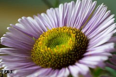 Purple petals , #Nature , #Petals , #flower , #color , #Light , #composition , #interesting , #Photographer , #Photography , #Macro , #closeup , #upclose , #Stamen , #purple , #delicate , #Botanical , #beautiful , #bokeh , #Park , #season , #summer , #Gar (jwzw@ymail.com) Tags: purple petals nature flower color light composition interesting photographer photography macro closeup upclose stamen delicate botanical beautiful bokeh park season summer garden outdoor blur exposure flora yellow green