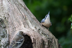 Nuthatch (Pittypomm) Tags: nuthatch symonds yat