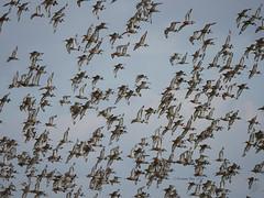 Flight of the godwits (yvonnepay615) Tags: panasonic lumix gh4 nature birds godwits rspb snettisham norfolk eastanglia uk coth coth5