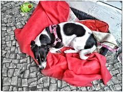 20160722_cute dog (cnajhar) Tags: dog cutie co lg estrela