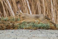 Jackrabbit on the Run (rlb1957) Tags: rabbit blacktailed jackrabbit running coyotecreeklagoon donedwards sanfranciscobay nationalwildliferefuge