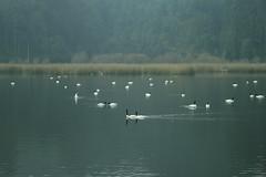 (Jean Maureen) Tags: humedal cisnes neblina regindelosros valdivia cisnescuellonegro