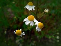 Matricaria chamomilla (civetta delle nevi) Tags: rural orto garden fiore erbaofficinale camomilla rugiada chamomile herbs