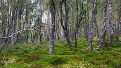 the discreet charme of a birch forest (lunaryuna) Tags: scotland cairngorms forest birchwood dava forestinterior mood undergrowth beauty landscape nature summer season seasonalwonders lunaryuna trees thespiritoftrees