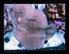 STETderasa7372_160616 (kactusficus) Tags: marine aquarium reef tank home coral tridacna derasa clam benitier