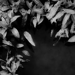 On River Waters 014 (noahbw) Tags: chicagoriver d5000 middleforksavanna nikon abstract blackwhite blackandwhite bw landscape leaves light marshland monochrome natural noahbw prairie quiet river square still stillness summer water wetlands