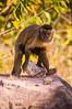 "Bearded Capuchin <a style=""margin-left:10px; font-size:0.8em;"" href=""http://www.flickr.com/photos/41134504@N00/16726647394/"" target=""_blank"">@flickr</a>"
