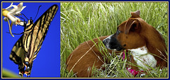 DOG & BUTTERFLY (Day Night Tripper) Tags: california flowers trees light sky horses dog white lake fish mountains chickens nature water vegetables grass fruit clouds butterfly river insect landscape countryside potatoes oak sand corn rocks purple cows farm bees country blossoms barns nuts canine villages canyon lemons boulders cotton pines honey drought pigs popcorn poppy poppies crops streams carrots wildflowers oranges hay blooms tractors wildflower towns hive lupine gravel creeks orchards plows fiddleneck kernriver lakeisabella ranches kerncounty