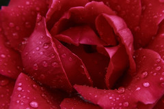 close-up rose (sabinfota) Tags: life red sun plant flower love nature water beauty rose women erotic feel drop