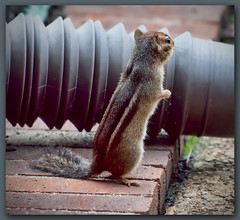 Stretch (II) (gtncats) Tags: nature animal outside outdoors stretch chipmunk inquisitive ef70300mm canon70d