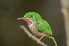 Narrow-billed tody (wallnut65) Tags: birds pentax dominicanrepublic tamron k3 bayahibe narrowbilledtody pentaxart