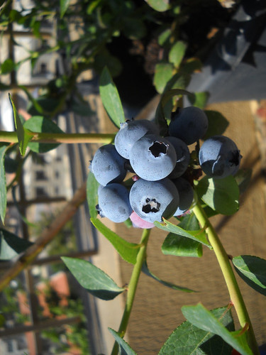 Imp Beautiful Photo 4 Blueberry Fruit a May 24, 2014