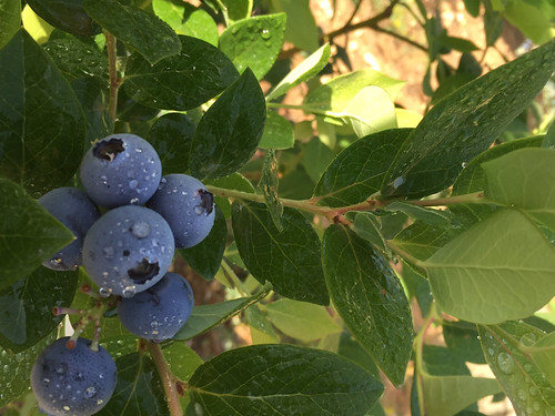 Blueberry Nice Fruits May 2015