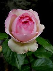 Rosier grimpant Meilland : Pierre de Ronsard (johnslides//199) Tags: roses france rosier pierrederonsard meilland rosiergrimpant