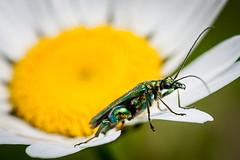 Interloper. (PJB32) Tags: macro insect depthoffield daisy sigma105mm canon50d