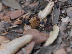 P1030883 (Dr Zoidberg) Tags: hormigas escarabajo zuiko50mmmacro