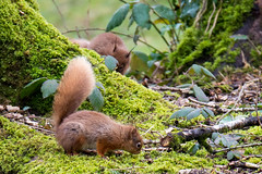 Red Squirrel (Sciurus vulgaris) (Brian Carruthers-Dublin-Eire) Tags: red mammal squirrel rua rodentia redsquirrel vulgaris sciurusvulgaris sciurus iora sciurudae