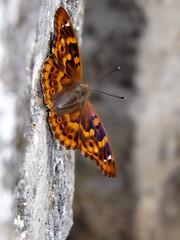 Lesser Purple Emperor on the bridge (andraszambo) Tags: old bridge colour macro nature butterfly insect sitting outdoor természet híd ilia magyarország tapolca naturephotos makró apatura természetképek makrófotó