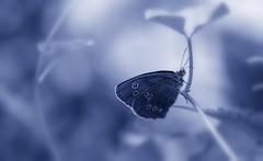 Butterfly   (Explore 21.07.2016) (Delbrcker) Tags: butterfly schmetterling animal tier macro makro nature natur insect insekt nikond610 nikkor105mm