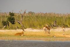 Red Lechwe By The Lake (Barbara Evans 7) Tags: red lechwe herd xakanaxa moremi game reserve botswana barbara evans7