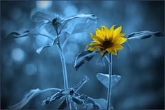 Out of the blue... (Fleur_008) Tags: blue summer germany sommer hamburg artificial sunflowers sunflower bouquet blau sonnenblume norddeutschland sommerblumen fotospielereien sonyalpha350