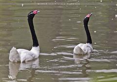 Black-necked Swan (creati.vince) Tags: shanghaiwildanimalpark avian bird birding china creativince lake pudong shanghai