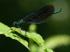 Beautiful Demoiselle (Male) (ukstormchaser (A.k.a The Bug Whisperer)) Tags: uk sunlight macro male beautiful animal animals closeup woodland way insect fly north insects flies perched demoiselle bucks damselfly damselflies odonata