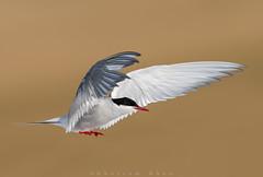 Pole to pole (Khurram Khan...) Tags: arctictern terns wildlife migration nikon nikkor naturephotography wildlifephotography arctic antarctic longdistance marathon