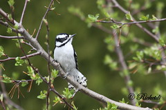 *** pic mineur - Downy woodpecker (Fem) (ricketdi) Tags: bird cantley downy downywoodpecker pic mineur picmineur picoidespubescens coth5 ngc npc