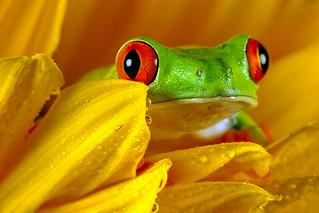 Red-Eyed Tree Frog, CaptiveLight, Bournemouth, UK