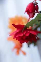 Begonia Illumination (haberlea) Tags: garden begonias plants flowers nature pots red orange mygarden begoniaillumination