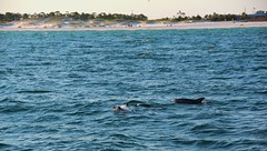 Dolphins (Jane Inman Stormer) Tags: dolphins water sea ocean gulf florida shore beach panhandle dunes sand blue emeraldcoast splash nature wild baby surface waves salt cruise porpoise mammals fin breathe swim family vacation