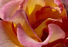 Rose (heiko.moser ( 9000000 views )) Tags: rose rot flora flower flowers floral natur nature natura nahaufnahme blume blte color closeup macro makro canon pflanzen pflanze plant
