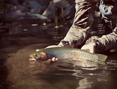 Colorado River Cutthroat Trout (Fly to Water) Tags: colorado river cutthroat trout fly fishing flyfishing angler angling catch release sport professional photography oncorhynchus clarkii pleuriticus