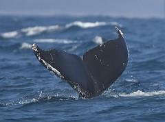 Humpback Whales (larryvenus) Tags: blurred lowcontrast mediumquality whales humpbackwhales humpbackflutes humbackblowholes montereywhalewatching monterey montereywhales montereycounty nikon nikond500 tamron tamron150600mmlens
