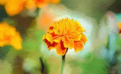 the Marigold HSS! (Dotsy McCurly) Tags: marigold flower plant nature beautiful bright orange hss happy sliders sunday topaz adobe photoshop nikon d750 nj dof bokeh