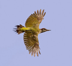 Green Woodpecker Juvenile ( picus viridis )  - Young Yaffle !! (Mid Glam Sam1) Tags: picusviridis inflight wales woodpecker shy nervous lucky greenwoodpecker