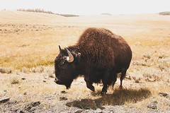 Bison - Yellowstone National Park (- Anthony Papa -) Tags: bison yellowstone national park wyoming montana anthony papa photos grass green tumblr vintage matte film digital amazing road long depth composition canon5dmkii 24105mm rural nature landscape photography digitalrev white art travel wildlife animals buffalo