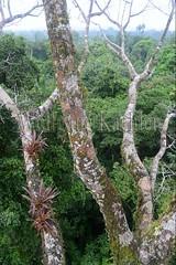 60071617 (wolfgangkaehler) Tags: 2016 southamerica southamerican ecuador ecuadorian latinamerica latinamerican rionapo rionapoecuador rionaporiver rainforest coca cocaecuador laselvalodge observationtower tower rainforestcanopy epiphyticplants epiphyte epiphytes trees