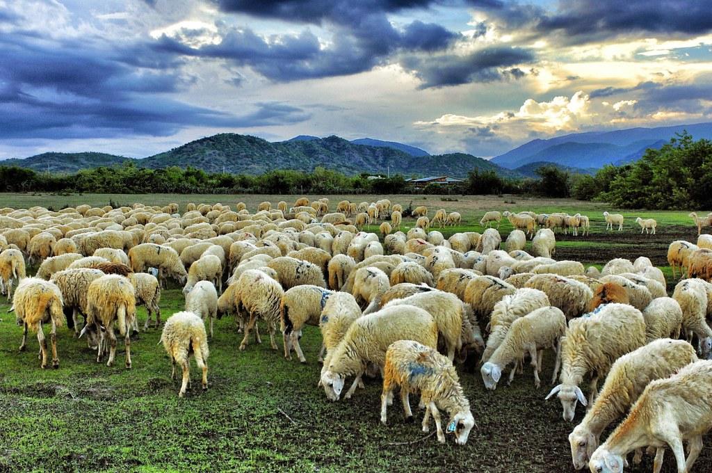 Đồng cừu suối Nghệ 2