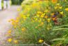 Californian Poppies - West Dean Gardens (Zoë Power) Tags: californianpoppy chichester westdeangardens flowers kitchengarden summer westsussex yellow