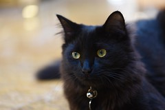 Portrait of a beautiful Boy! (ineedathis,The older I get the more fun I have....) Tags: ziggy kitty cat feline pet family boy furry blackcat male portrait sweet nikond750 animal adopted drzhivago posing