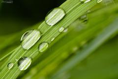 DSC_0205 (filippocaramelli) Tags: grass goccie drops plant diagonal rugiada dew