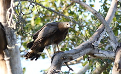 Immature African harrier-hawk (gymnogene), Polyboroides typus, at Ndumo Nature Reserve, KwaZulu-Natal, South Africa (Derek Keats) Tags: taxonomy:family=accipitridae birds harrierhawk naturereserve birdsofprey nature bird accipitridae africanharrierhawk gymnogene polyboroidestypus behaviour outdoors taxonomy:binomial=polyboroidestypus