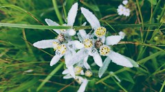 Stelle Alpine (s.tassinari) Tags: edelweiss nature flowers green grass pics pictures images photos photography stellealpine stelle alpine natura fiori verde white bianco immagine immagini foto fotografia