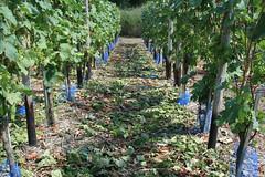 ckuchem-1422 (christine_kuchem) Tags: ahrtal anbau anbaugebiet eifel felsen naturschutz netze rotweinwanderweg schiefer schieferfelsen schutz sommer vogelfras vogelschutz weinanbau weinberg weintraubenanbau blau weintrauben